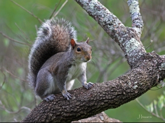 squirrel in Tree -by-jim-isaacs