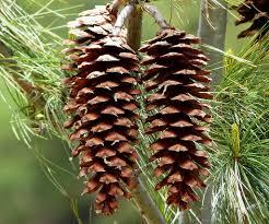 Himalayan Pine Cones